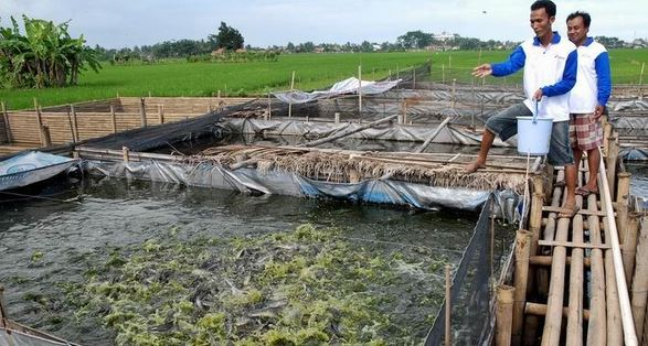 panduan bisnis ikan lele