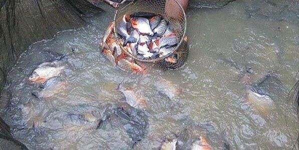 panduan bisnis ikan nila