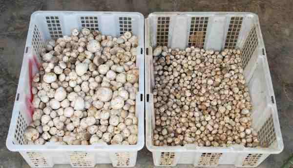 bisnis jamur tiram